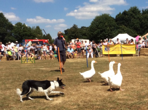 Flight, the sheepdog, herding geese at the hook and odiham show